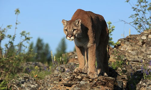 Mountain Lion with Zoo badge